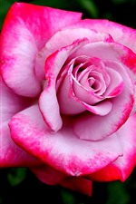 Preview iPhone wallpaper Pink rose close-up, petals, flower macro photography