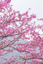 Preview iPhone wallpaper Pink sakura, bloom, spring, trees, beautiful flowers