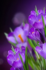 Preview iPhone wallpaper Purple flowers, crocuses, hazy background