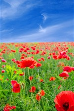 Preview iPhone wallpaper Red poppies, flowers field, blue sky