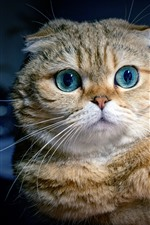 Preview iPhone wallpaper Scottish fold cat, blue eyes, front view