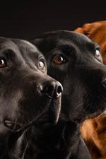 Três, cachorros, experiência preta