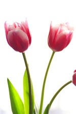 Preview iPhone wallpaper Three pink tulips, white background