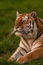 Preview iPhone wallpaper Tiger cub, pose, rest, grass