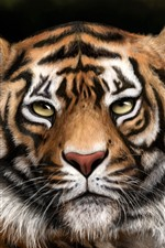 Preview iPhone wallpaper Tiger, face, eyes, look, animal