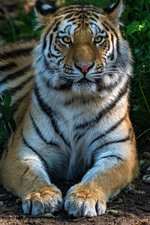 Preview iPhone wallpaper Tiger front view, face, paws, wildlife