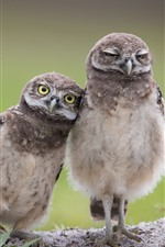Preview iPhone wallpaper Two owls, birds
