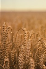 Preview iPhone wallpaper Wheat field, autumn, hazy