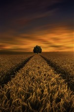 Preview iPhone wallpaper Wheat field, lonely tree, sunset