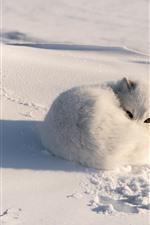 White fox, snow, shadow