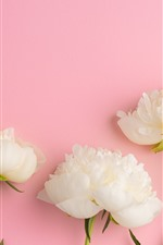 Preview iPhone wallpaper White peonies, pink background