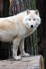 Preview iPhone wallpaper White wolf, stump, wildlife