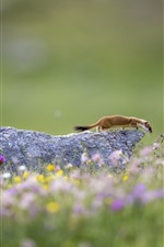 Preview iPhone wallpaper Wildlife, ermine, flowers