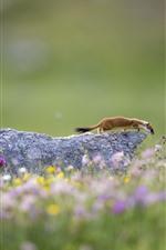 Wildlife, ermine, flowers