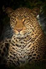 Preview iPhone wallpaper Wildlife, leopard, face