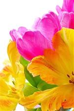 Tulipas amarelas e rosa, flores, fundo branco