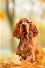 A brown dog, look, maple leaves, autumn