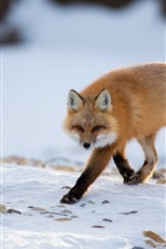 Preview iPhone wallpaper A fox walk to you, look, snow, winter