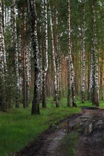 Birch trees, path, puddle, nature