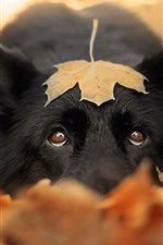 Preview iPhone wallpaper Black dog, maple leaf, hazy