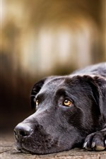 Cão preto, tristeza, olha, olhos