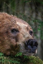 Brown bear, face, nose, look