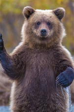 Preview iPhone wallpaper Brown bear, paw, pose, river