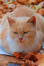 Vorschau des iPhone Hintergrundbilder Katzenruhe, Boden, gelbe Blätter, Herbst