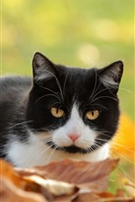 Preview iPhone wallpaper Cute kitten, black and white, yellow foliage, autumn