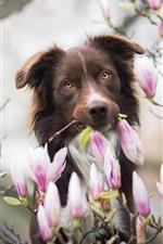 Cachorro e magnólia, flores cor de rosa