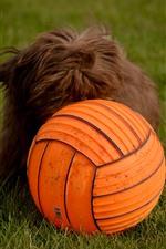 미리보기 iPhone 배경 화면 개와 주황색 공, 잔디