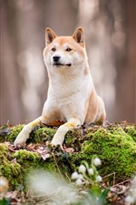 Preview iPhone wallpaper Dog front view, rest, moss, nature