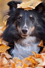 Cachorro escondido nas folhas, outono