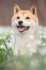 Preview iPhone wallpaper Dog, look, snowdrops, white flowers