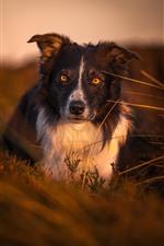 Dog, look, yellow eyes, dusk, nature