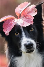 Preview iPhone wallpaper Dog, red leaf, funny animal