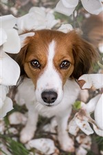 Preview iPhone wallpaper Dog, white flowers, petals