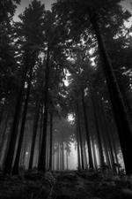 Forest, trees, fog, dusk