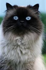 Preview iPhone wallpaper Furry cat, blue eyes, look, grass