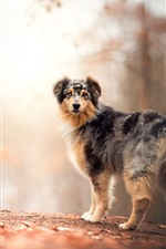 Preview iPhone wallpaper Furry dog look back, autumn, trees, path