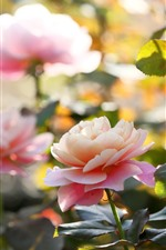 Preview iPhone wallpaper Garden flowers, pink roses, hazy