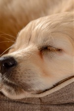 Preview iPhone wallpaper Golden Retriever, sleeping