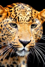 Preview iPhone wallpaper Jaguar, face, black background