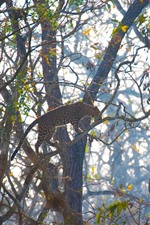 Preview iPhone wallpaper Leopard, climb on tree, wildlife