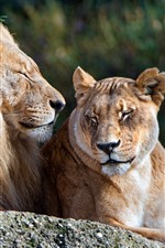 Preview iPhone wallpaper Lion and lioness, rest, couple