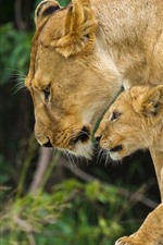 Preview iPhone wallpaper Lioness and lion cub, look, family