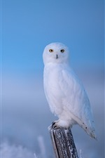 Preview iPhone wallpaper Lonely white owl, winter