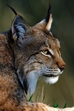 Preview iPhone wallpaper Lynx, wildlife, rest, look