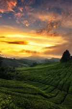 Preview iPhone wallpaper Malaysia, plantation, tea, hills, green, sunset, clouds
