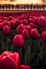 Preview iPhone wallpaper Many red tulips, flowers field, dusk